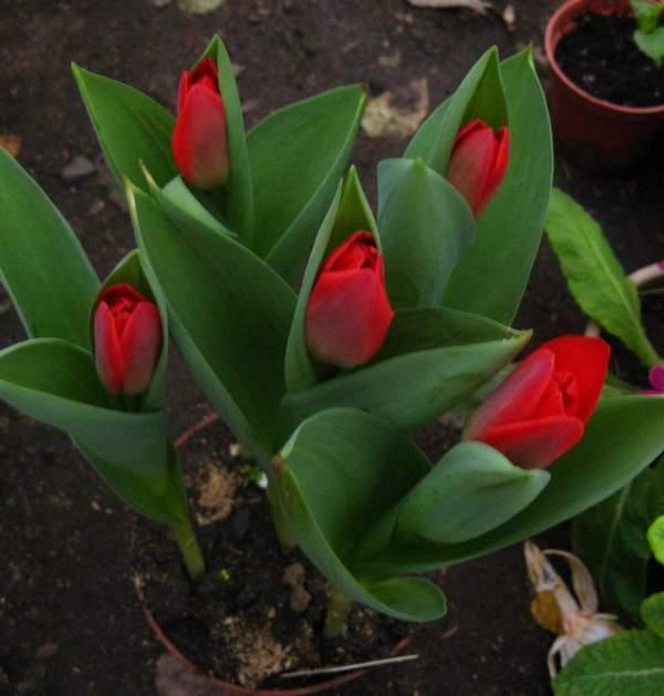 Можно сажать тюльпаны в горшках 13